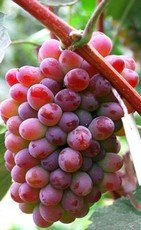 吉林坤朋葡萄苗京玉玫瑰葡萄苗葡萄苗出售大连葡萄苗