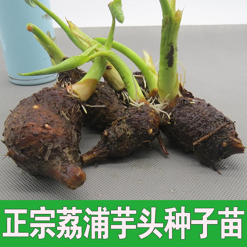 广西荔浦芋头种子苗  芋头种子  香芋种苗  槟榔芋种子苗批发量大优惠