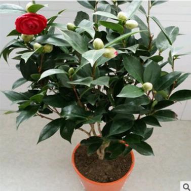供应 室内外花卉茶梅山茶花树苗 带花苞四季盆栽茶花苗包成活当年开花