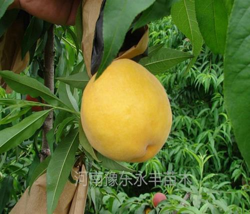 永丰种植桃苗基地(在线咨询)|新疆新品种桃苗|新品种桃苗嫁接