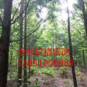 8公分水杉 10公分水杉