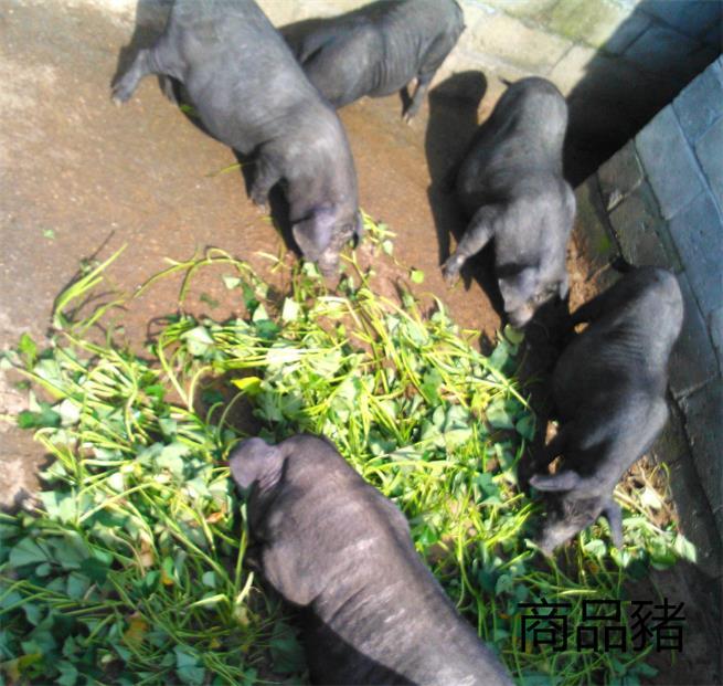 """""""绿色有机香猪肉""""巴马香猪藏香猪从江香猪黑猪土猪肉"""