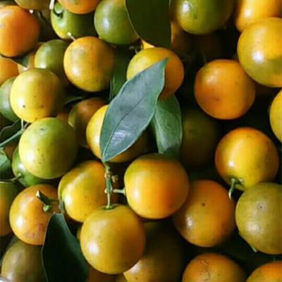 供应 广西融安新鲜时令水果脆皮滑皮金桔