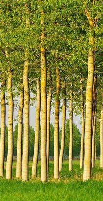 绿源桉树木材