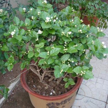 批发室内观花植物 白色茉莉花苗