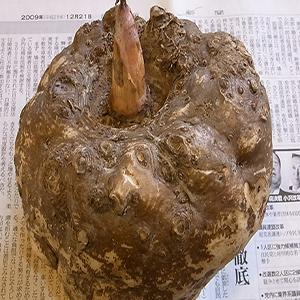 四川绵阳种植合作社出售本地鲜魔芋品种花魔芋
