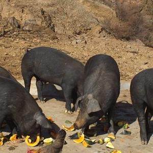 河北黑猪养殖