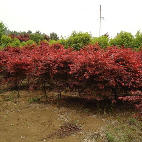 供应2公分红枫树苗价格