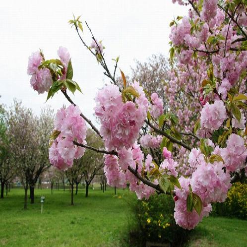 供应8公分樱花树价格