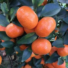 荔浦砂糖桔品牌水果产地直销绿色无公害砂糖橘家全果园精品沙糖桔