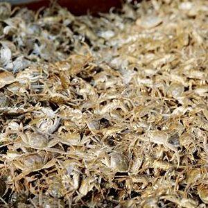 阳澄湖蟹苗活体 大闸蟹苗 鲜活现货河蟹苗种养殖扣蟹小螃蟹毛蟹