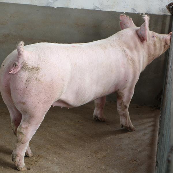 新大牧业 二元母猪