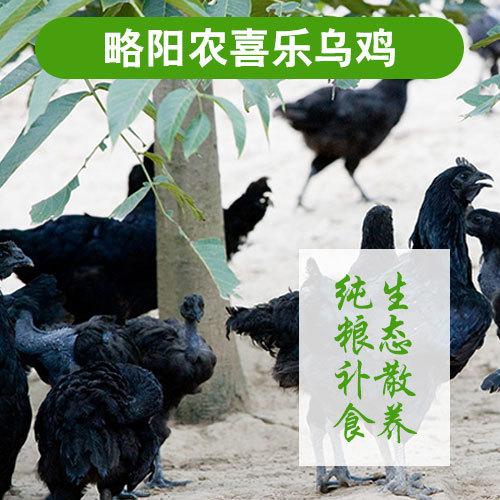 略阳生态乌鸡林间散养土鸡健康滋补乌鸡批发产地直供量大从优鸡2-2.5斤