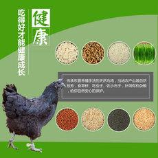 略阳生态乌鸡 林间散养土鸡 健康滋补 乌鸡批发 产地直供量大从优 公鸡3-3.5斤