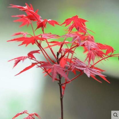 红枫树桩美国红枫树苗 红枫盆景红枫小苗红枫树苗红枫苗庭院阳台