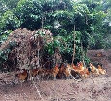 重庆江津橄榄土鸡