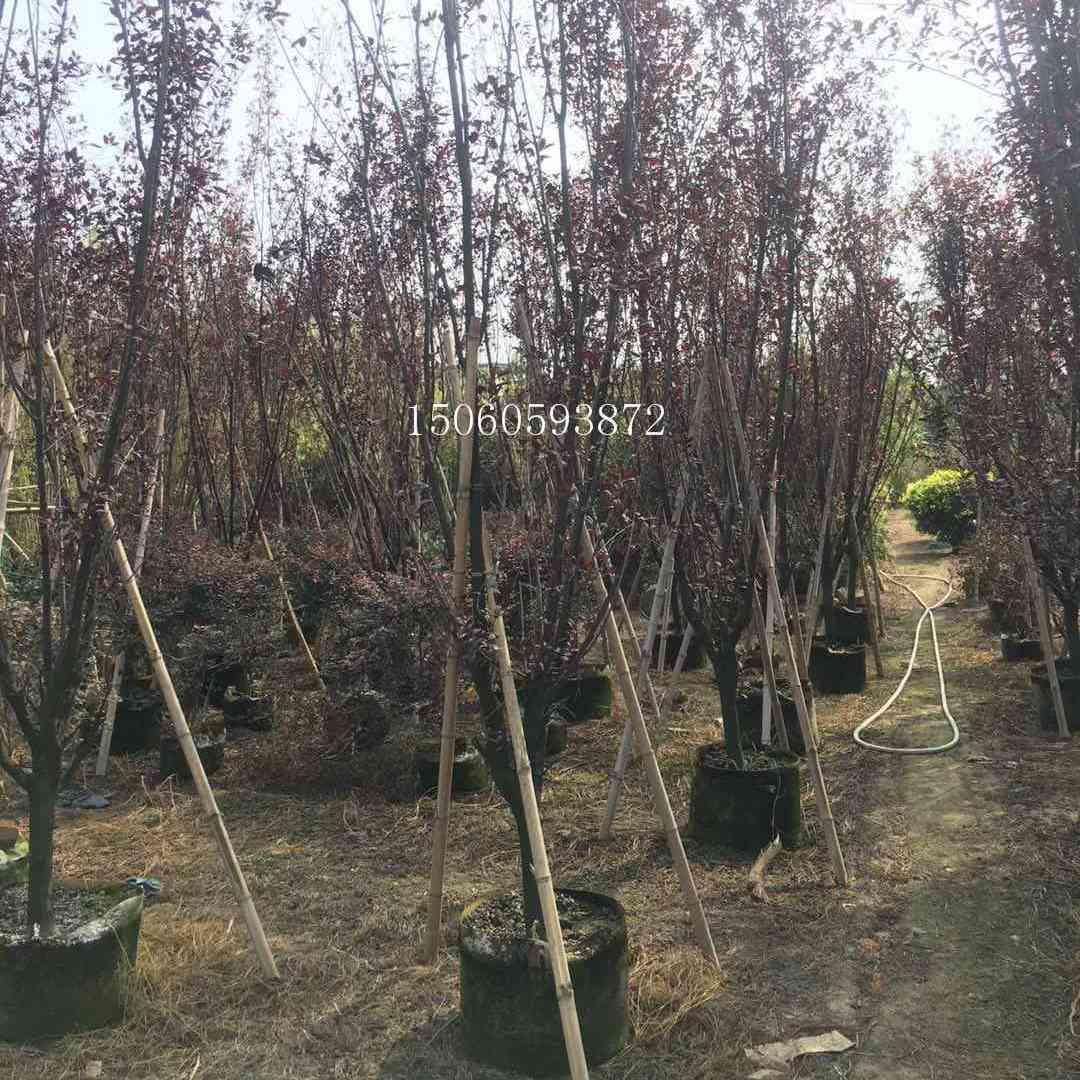 北京紫叶李批发供应 北京紫叶李袋苗地苗假植苗便宜销售