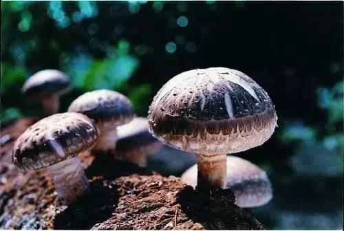 小花菇栽培的蕾期管理和培育方法
