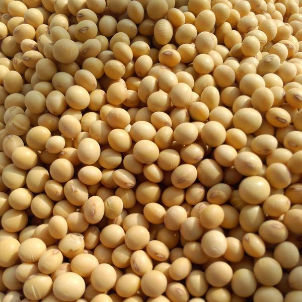 有机大豆 东北有机农产大豆 有机非转基因黄豆 绿山农业