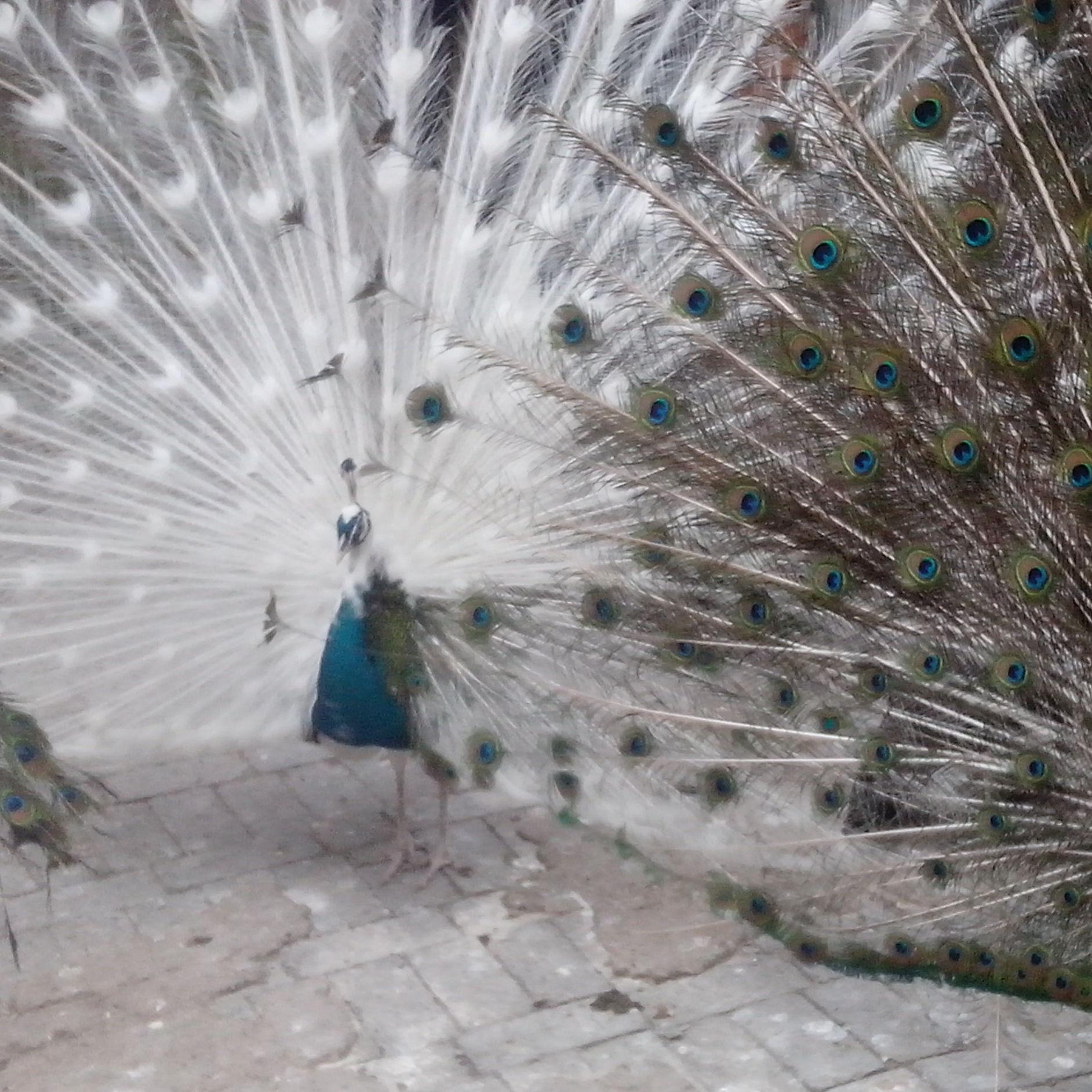 白孔雀花孔雀种孔雀观赏孔雀供应