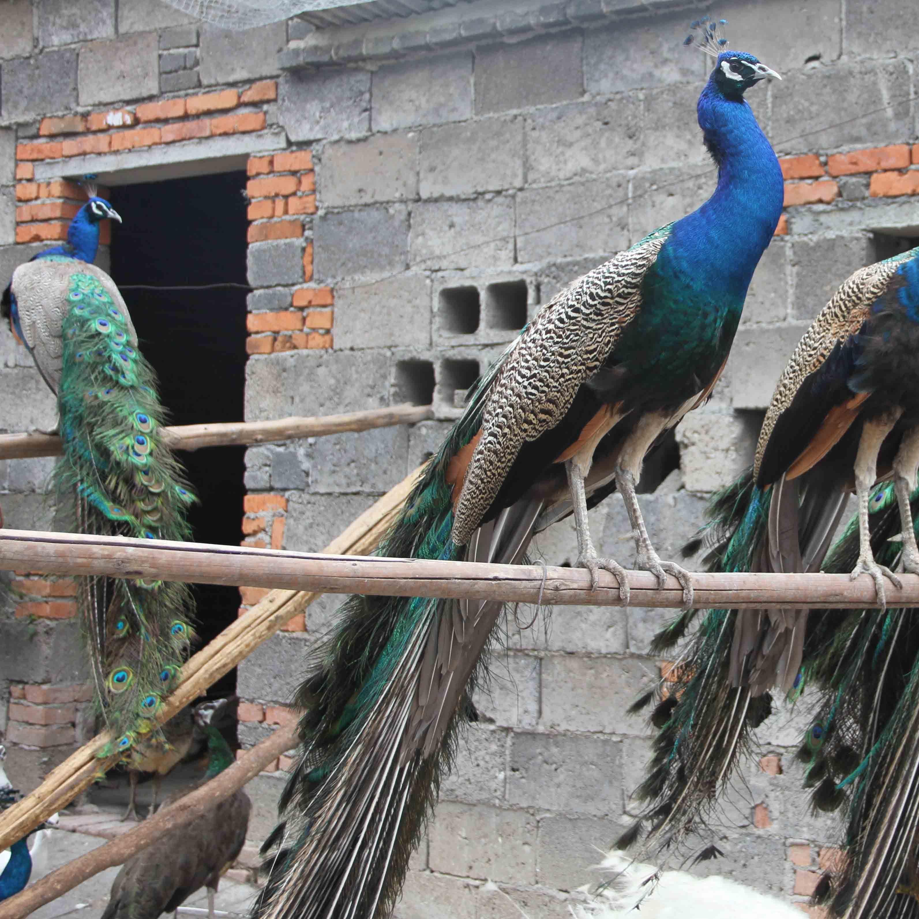 孔雀孔雀养殖技术孔雀防疫技术供应