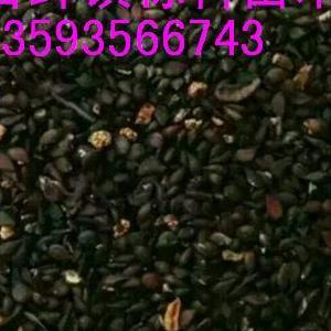 今年新杜梨种子大量出售