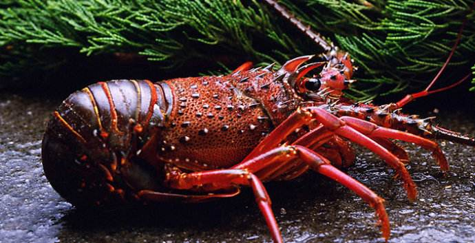 为什么澳洲龙虾比波士顿龙虾贵
