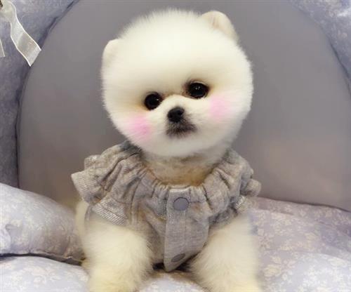 尊宠天下国际宠物俱乐部(图)、博美犬出售、博美