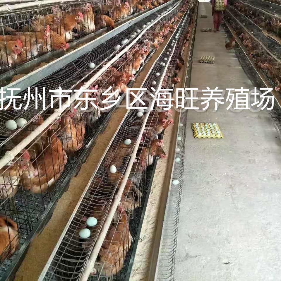 东乡海旺土鸡下绿壳蛋鸡苗长期供应