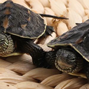 中華花龜 活體小烏龜龜苗 珍珠龜六線草龜寵物觀賞龜