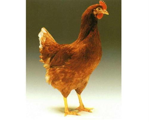 廣安羅曼粉,華帥青年雞直銷,羅曼粉廠家直銷