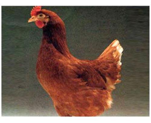 海兰褐,华帅青年鸡直销,海兰褐蛋鸡生产指标