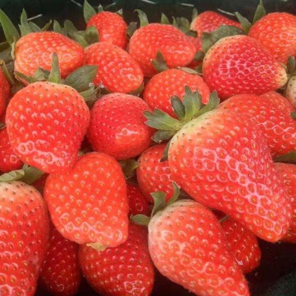 浩琪大棚自种奶油新鲜孕妇有机现摘草莓现货