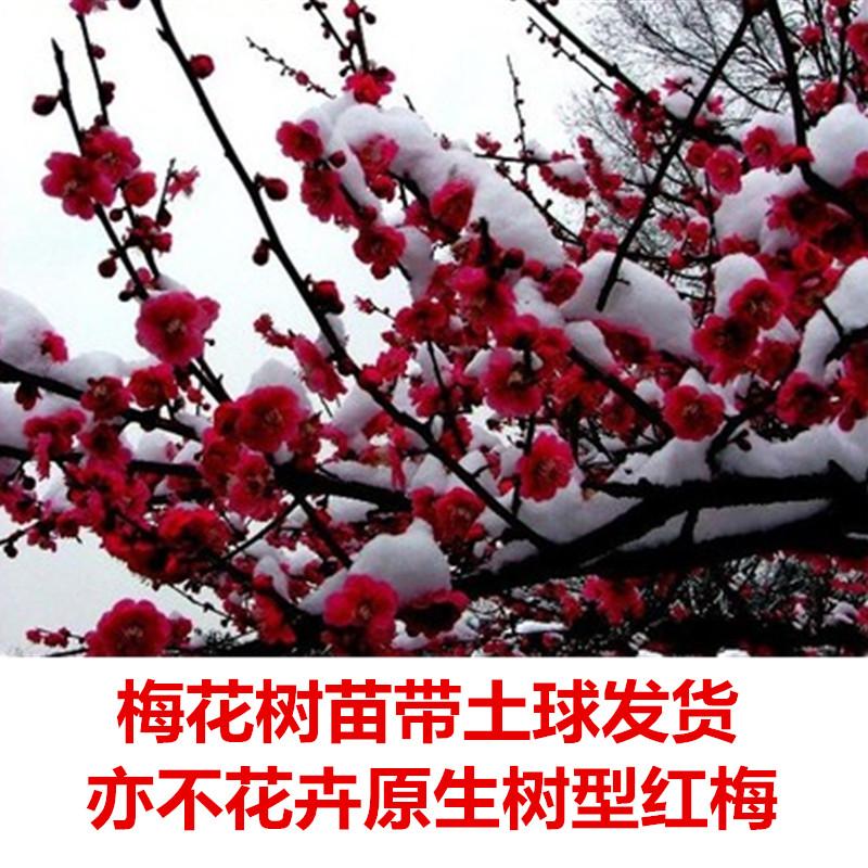 梅花树苗红梅树苗原生红梅树苗庭院地栽盆栽树桩盆景当年开花
