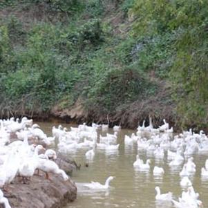 大量玉米喂養優質肉鵝供應
